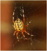 Marble Back Orb Weaver | See more pests at the Bug Hunters Pest Control | http://www.bughunterspestcontrol.com