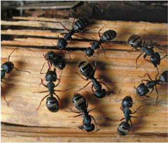 Carpenter Ants | See more pests at the Bug Hunters Pest Control | http://www.bughunterspestcontrol.com