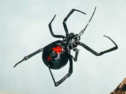 Black Widow | See more pests at the Bug Hunters Pest Control | http://www.bughunterspestcontrol.com