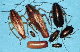 German Roach | See more pests at the Bug Hunters Pest Control | http://www.bughunterspestcontrol.com