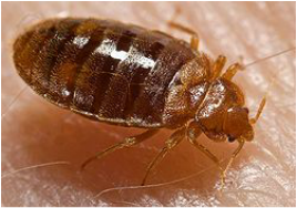Bed Bugs | See more pests at the Bug Hunters Pest Control | http://www.bughunterspestcontrol.com