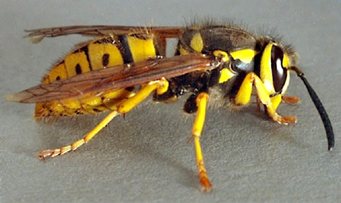 Yellow Jacket | See more pests at the Bug Hunters Pest Control | http://www.bughunterspestcontrol.com