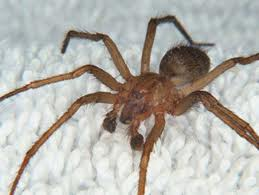 Male Hobo Spider | See more pests at the Bug Hunters Pest Control | http://www.bughunterspestcontrol.com